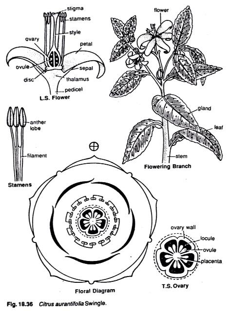 Botany Blog Rutaceae Citrus Or Rue Family