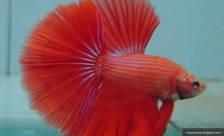 makanan anak ikan laga baru menetas