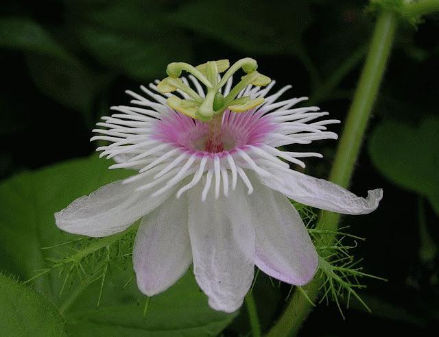HOA LẠC TIÊN - Passiflora foetida - Nguyên liệu làm Thuốc Ngủ, An Thần, Trấn Kinh