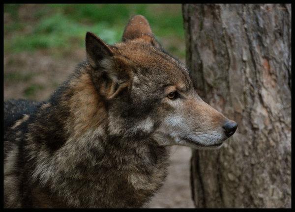 Eurasian Wolf Xamobox Blogspot Com Relax