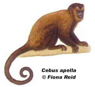 Mono caí Cebus apella