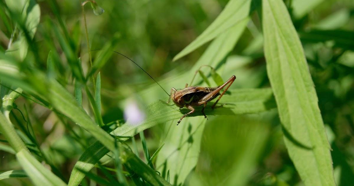 Bifocal Univision Baby Grasshopper