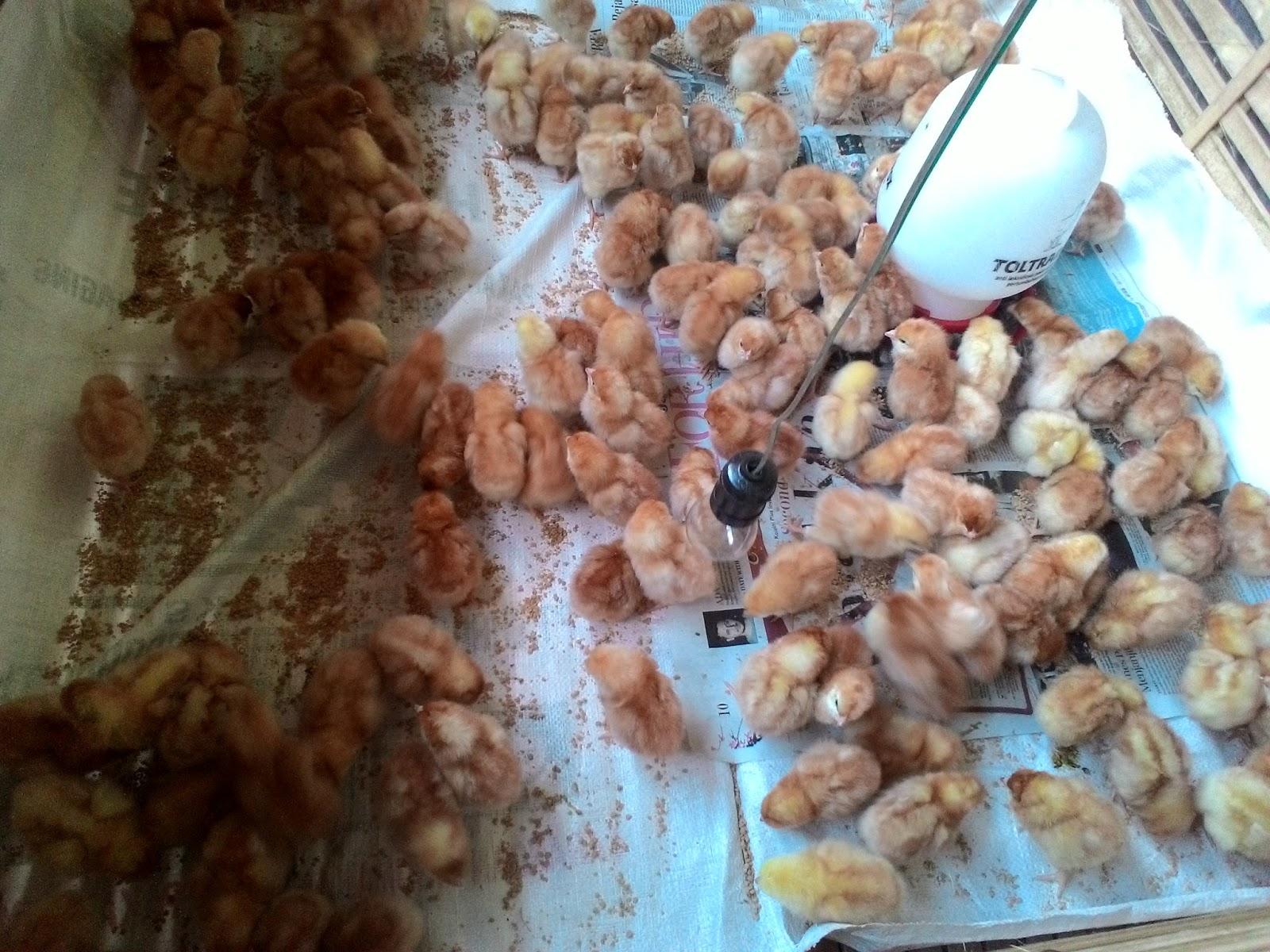 Jika Kita Membahas Tentang Ayam Petelurkemungkinan Besar Gak Ada Habisnyakarena Jenisnya Banyak Terutama Asal Usul Dan Strain Layer Dari Masa Ke