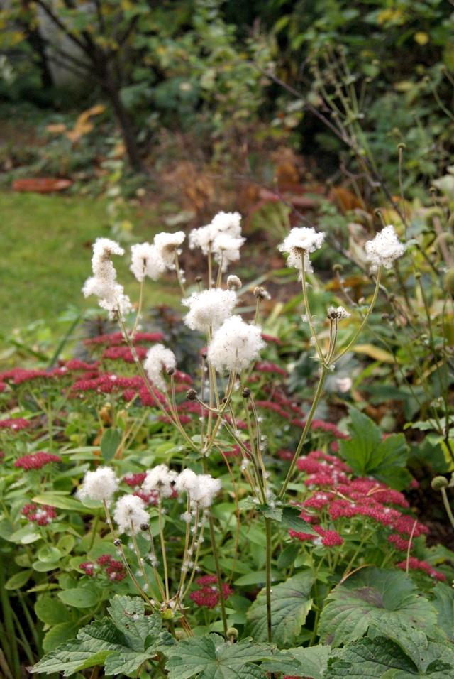 Garten im November Sedum und Herbstanemone
