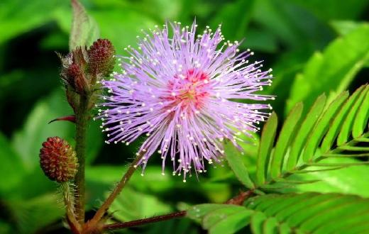 Putri malu yang memiliki nama latin Mimosa Pudica sering dianggap tanaman pengganggu dikarenakan memiliki duri-duri kecil dibatangnya yang dapat menusuk.