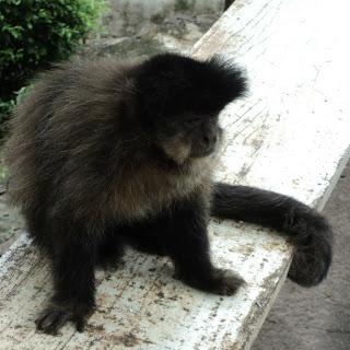 Macaco em Iraí, Perto da Divisa com SC