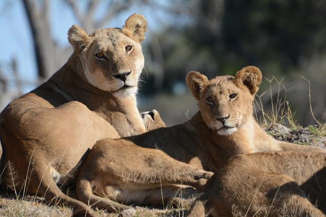 lions, leeuwen, lionesses, leeuwinnen, Botswana, african wildlife, safari, wildpark, bush, glamping,