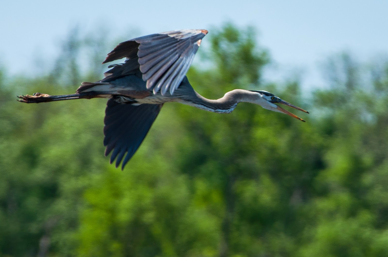 Great Blue Heron, Hagerman Wildlife Refuge