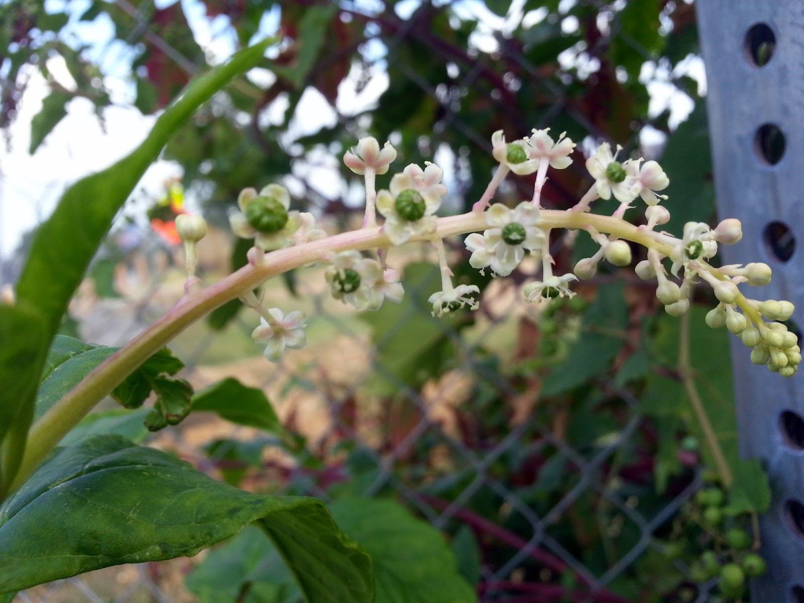 Name that Plant: Red Stems with Clusters of     - Ben's Journal