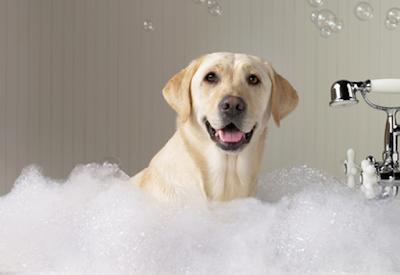 Servicios perro Labrado Retriever