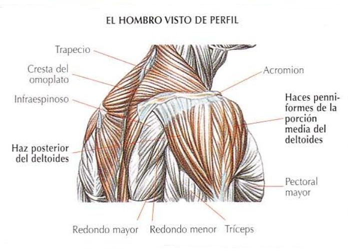 Anatomía del hombro visto de perfil | Rane Forti