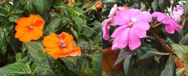 Bunga Sun Patiens