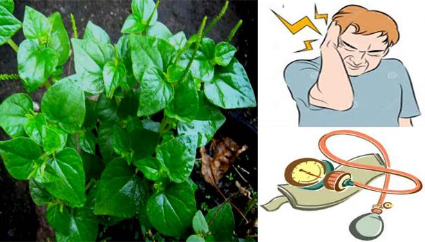 2t3vmZ5 Peperomia Pellucida (Pansit-pansitan) Can Cure These Disease!