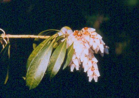 Pieris Japonica Early Spring Bloom Beediverse Mason Bees