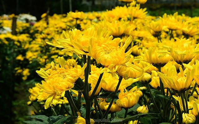 Warna kuning dominan di Kebun Bunga Krisan Bandungan