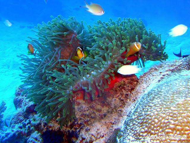 two-bar clownfish, anemonefish, maldives, scuba diving, tropical sea,