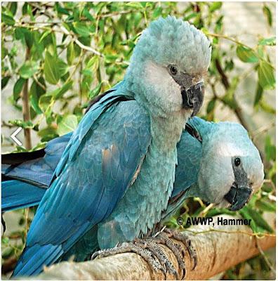 Ararinha-azul, Cyanopsitta-spixii, spix-macao, Tráfico de animais, tráfico de animais silvestres, tráfico de aves, tráfico de mamíferos, tráfico de animais é crime, tráfico de animais no Brasil, espécies vítimas de tráfico, natureza, natureza e conservação