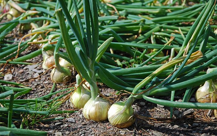 Cách trồng Hành tây & kỹ thuật trồng hành tây