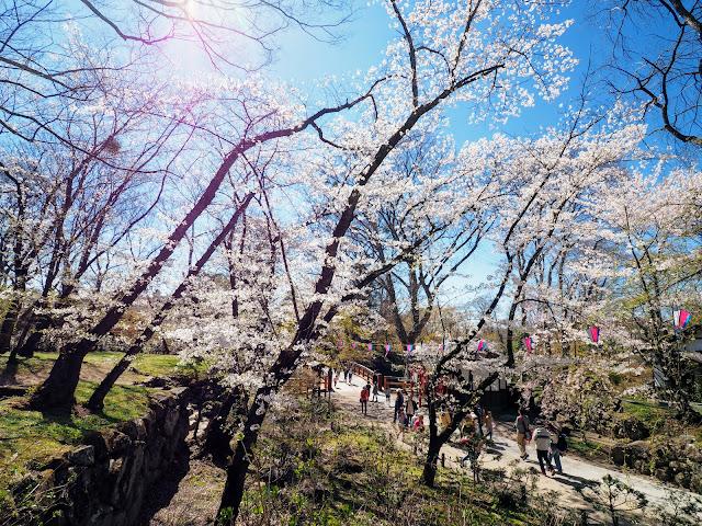 懐古園 小諸城址 桜