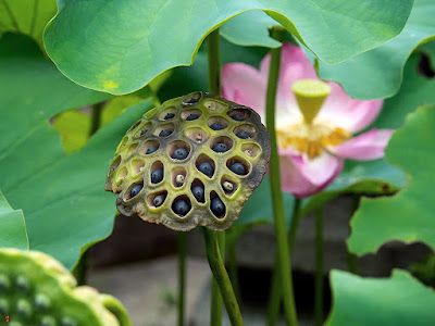 Lotus seeds: Kaizo-ji