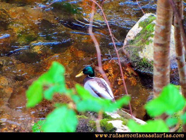 Ruta del Alba: Pato en el río