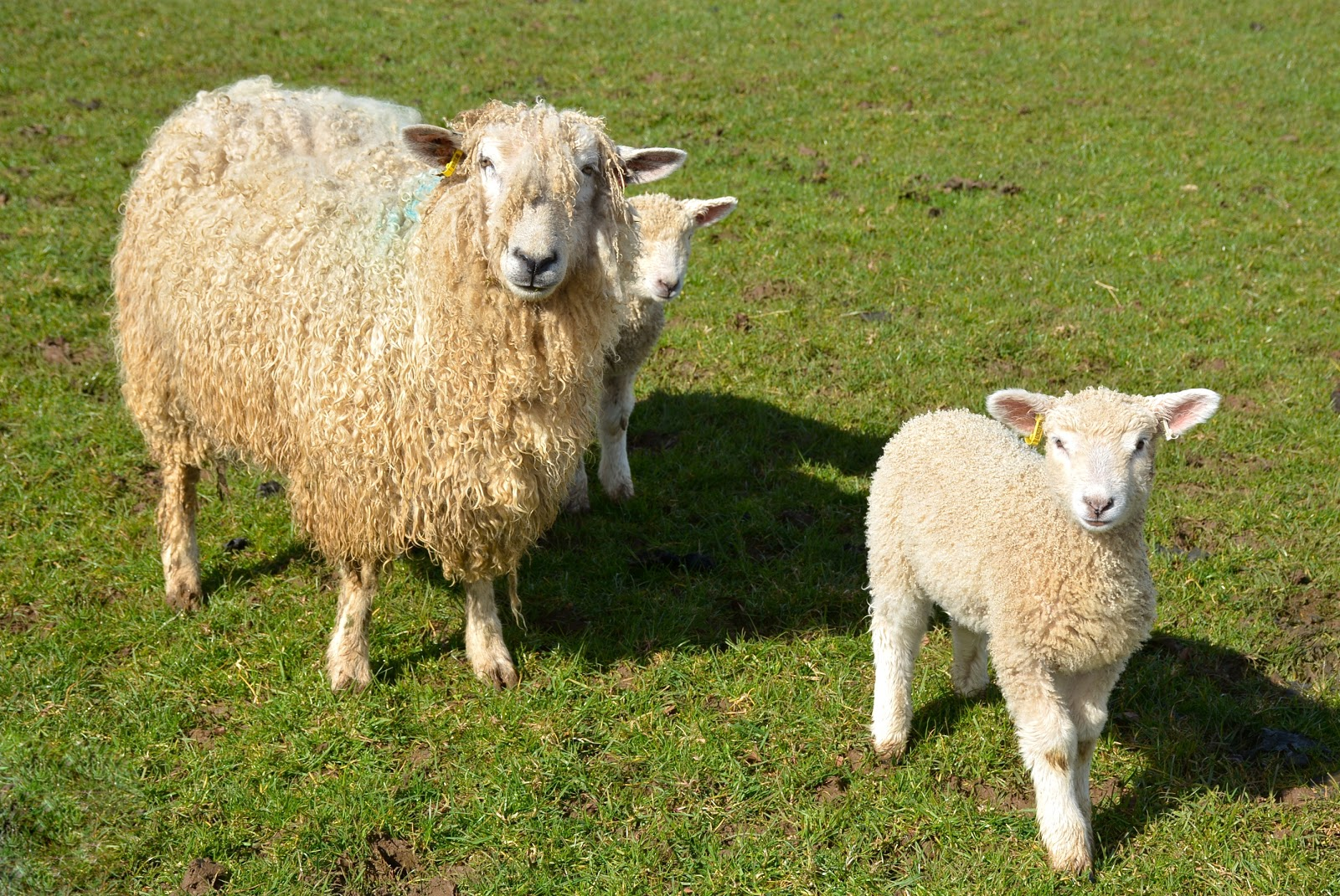 Cotswold lion and lambs