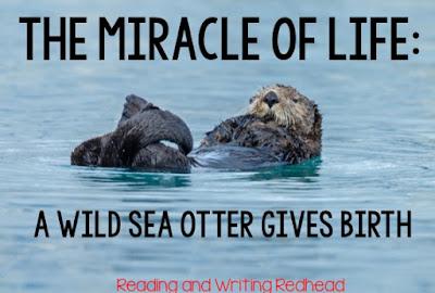Wild Sea Otter Gives Birth Behind the Monterey Bay Aqaurium