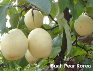 bibit pear korea | tanaman pear dataran rendah | jual pear korea | bertanam pear korea | budidaya pear korea | pohon pir korea | pohon pear korea