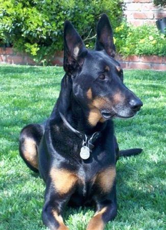 Everything About Your Doberman Shepherd Luv My Dogs
