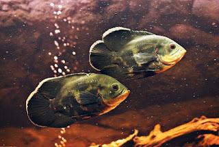 Perbedaan Ikan Oscar Jantan dan Betina