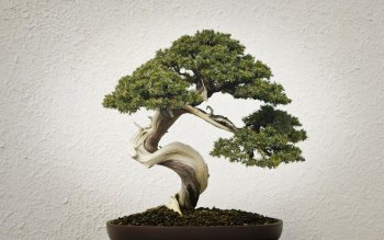 Wallpaper: Bonsai Tree