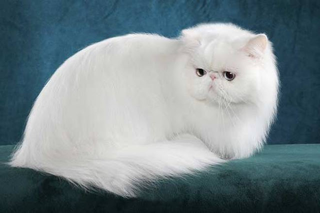 persian longhair cat