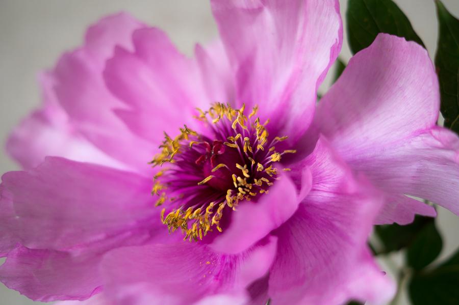 Blog + Fotografie by it's me! | fim.works | Bunt ist die Welt | Blumen | Samenfäden einer rosa-fliederfarbene Bauernpfingstrose