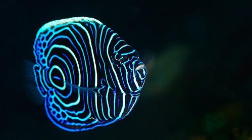 Gambar Ikan Angelfish - Budidaya Ikan