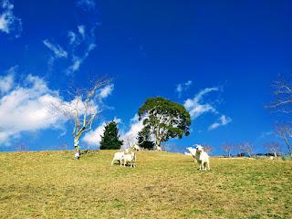 ヤギと放牧の丘と青空のコントラストが素敵