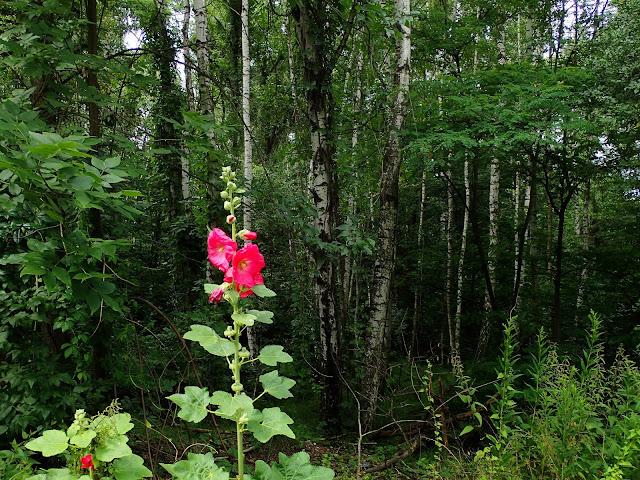 Malwa w lesie