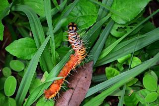Orange Spiky Caterpillar