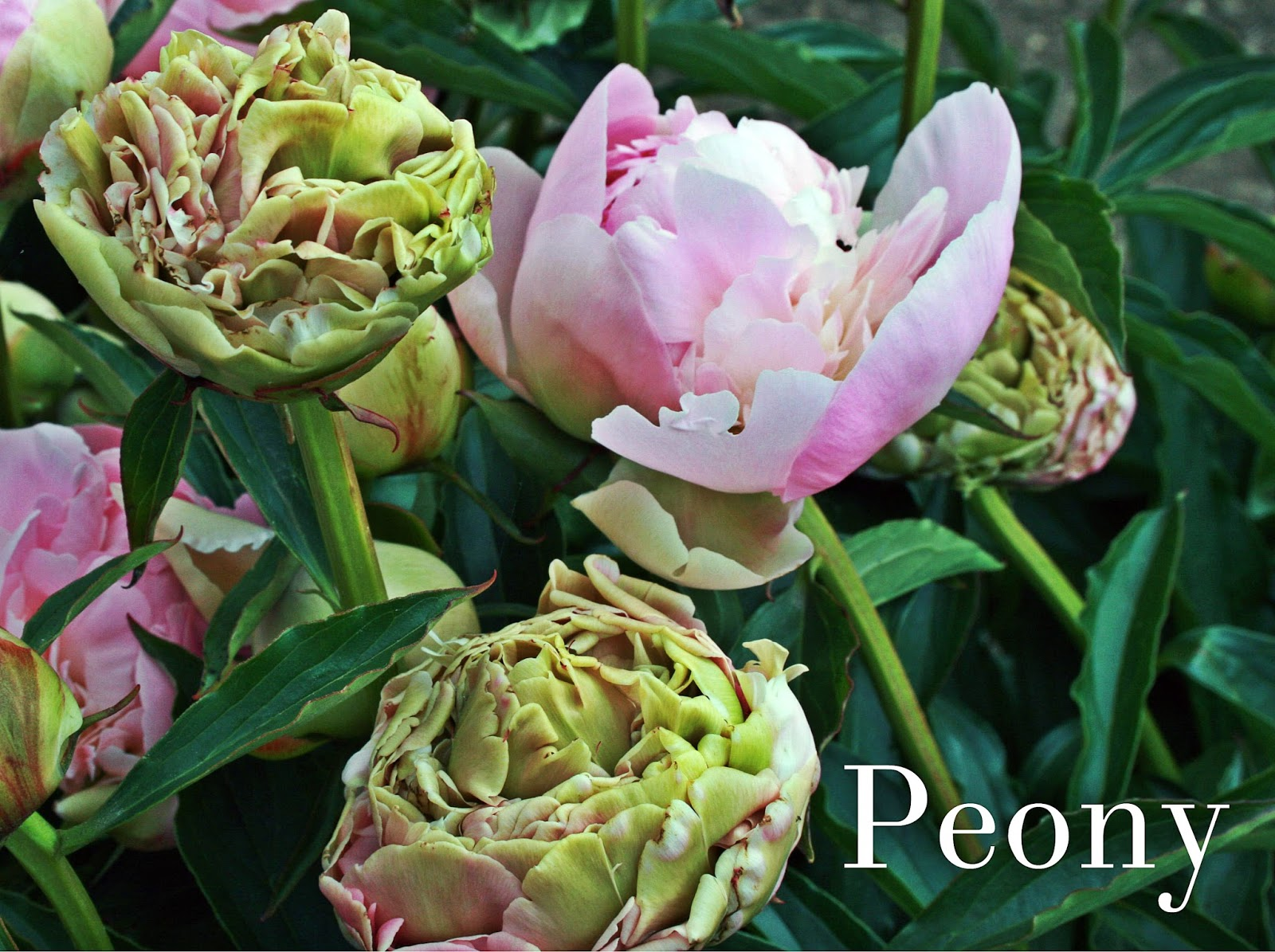 Fragrant Perennial Flowers A List Of 45 Highly Fragrant Flowers