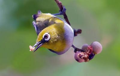 Harga Terbaru Dan Manpaat Pemberian Vitamin Untuk Burung Pleci