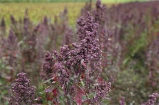 quinoa-pianta