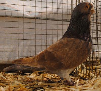 marolinha pigeon breeds