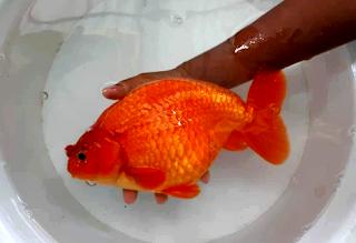 Ukuran terbesar ikan mas koki
