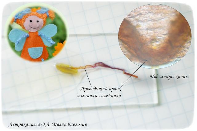 проводящий-пучок-в-тычинке-лилейника-под-микроскопом