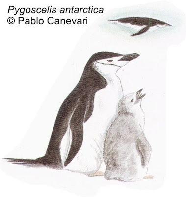 Pingüino de barbijo Pygoscelis antárctica