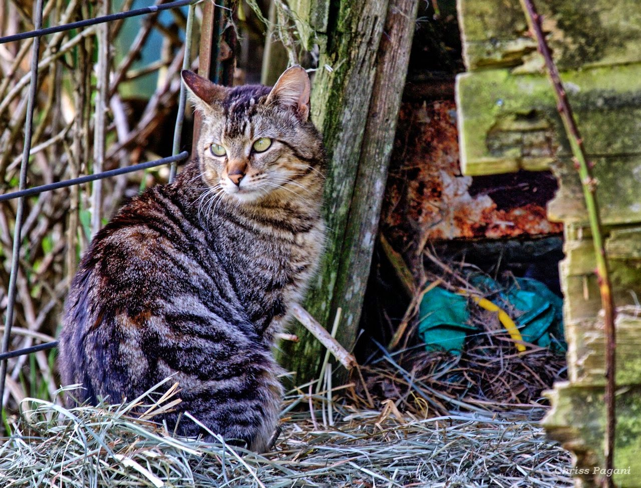 barn cat tabby photo