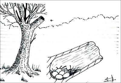 Pato criollo Cairina moschata
