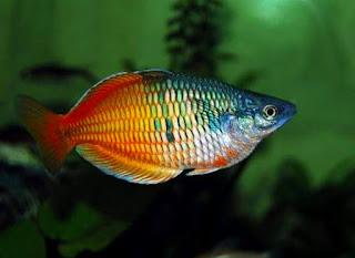 Ikan Hias Rainbow Mengenal Ciri Ciri Jenis dan Perawatannya Lengkap