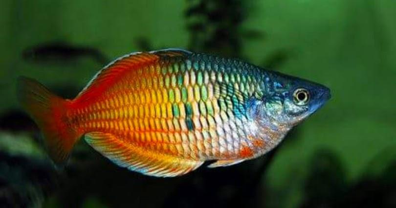 Ikan Hias Rainbow Ciri Ciri Jenis Dan Perawatannya Lengkap Hobinatang