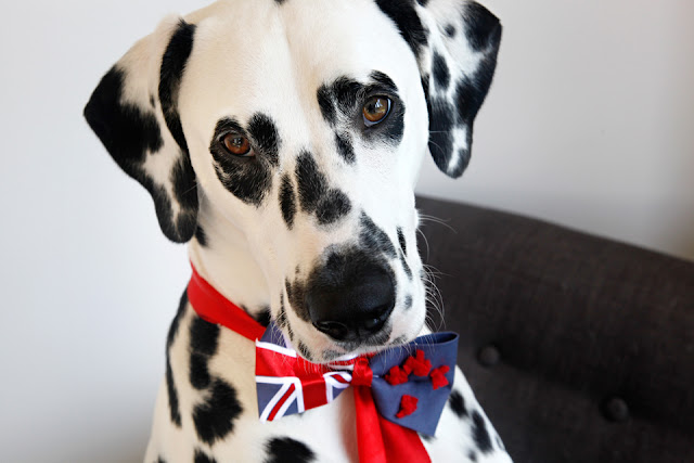 Dalmatian dog with DIY New Zealand flag bow tie