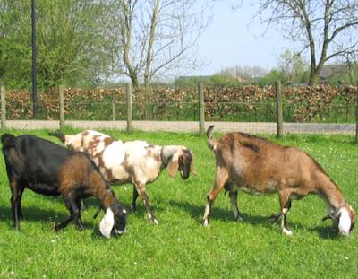 nubian goat, nubian goats, anglo nubian goat